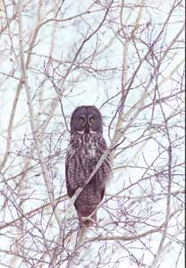 Photo of a Great Grey Owl