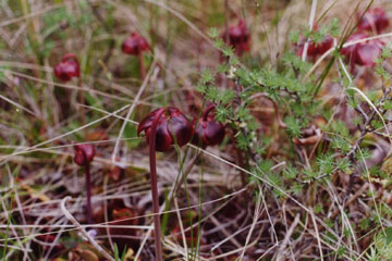 Photo of a Pitcher-Plant