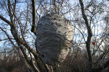 Photo of a wasp nest